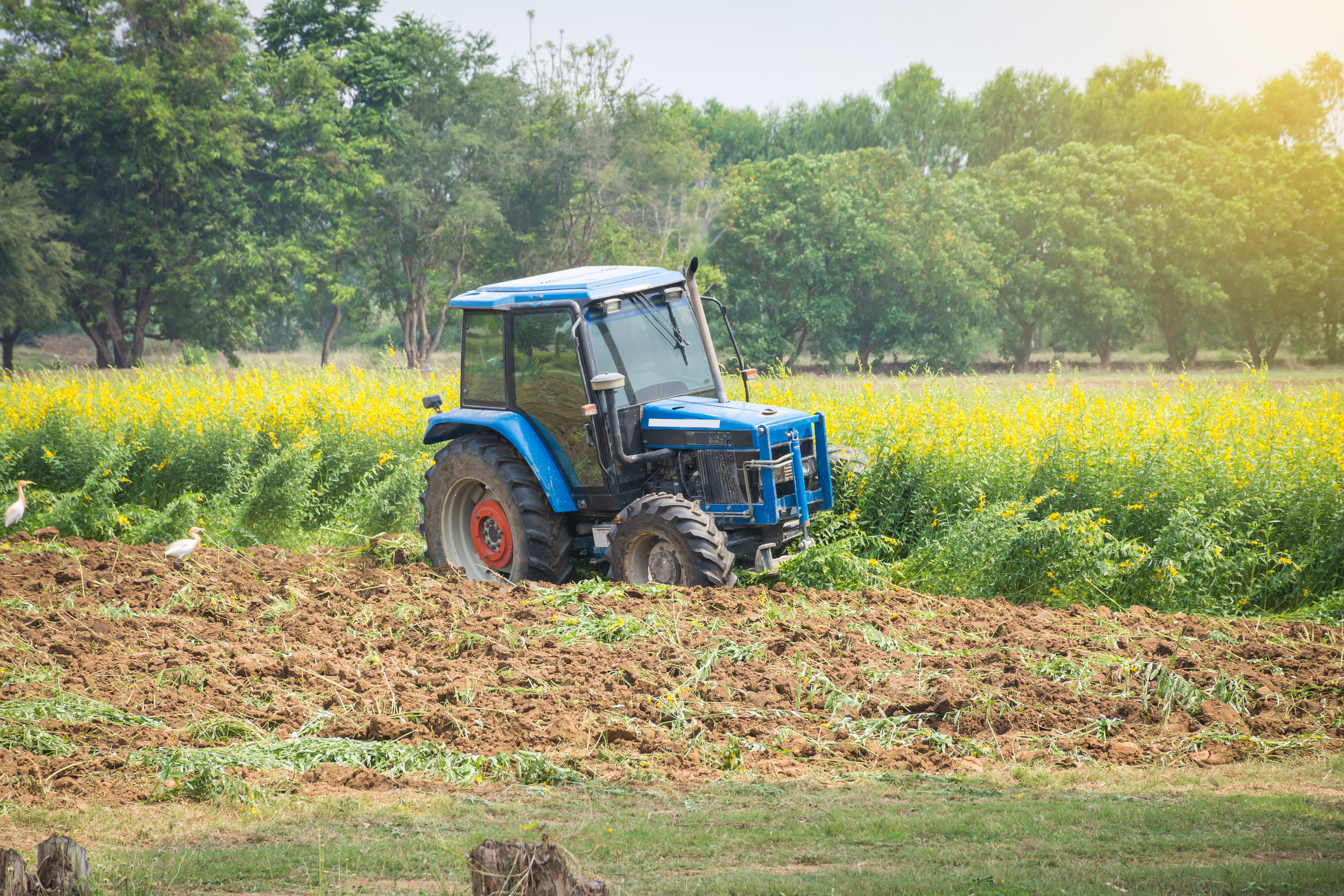 Tractor plowing under a field of crops